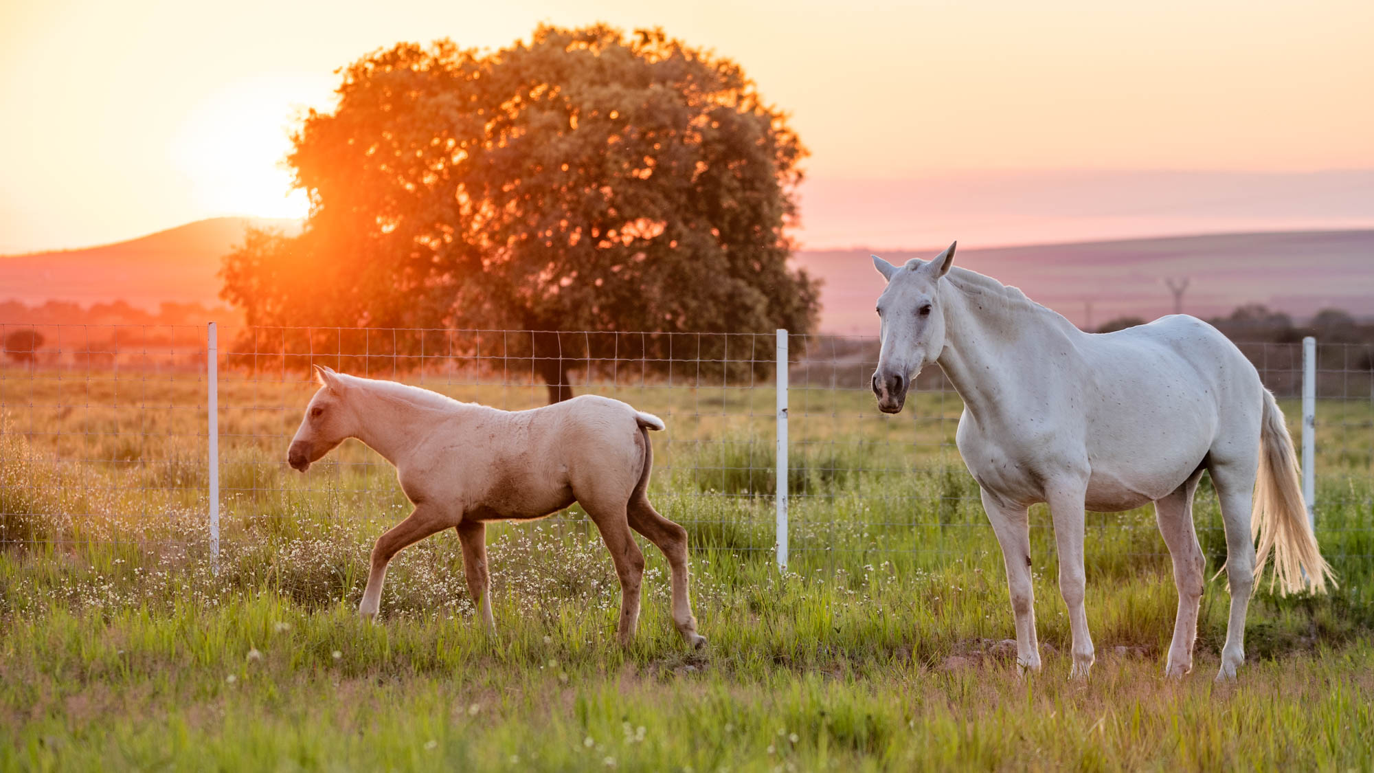 White Mare horse with her foal on the grass at sunset